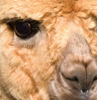 Adonia Alpacas - Reviews , Scam RipOff Reports , Complaints and business details